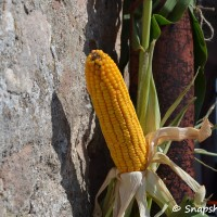 Corn deco